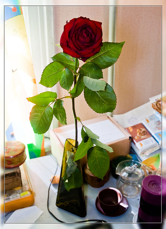 ...роза красная цвела гордо и неторопливо...